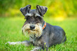 canvas print picture - Miniature schnauzer lying on the grass
