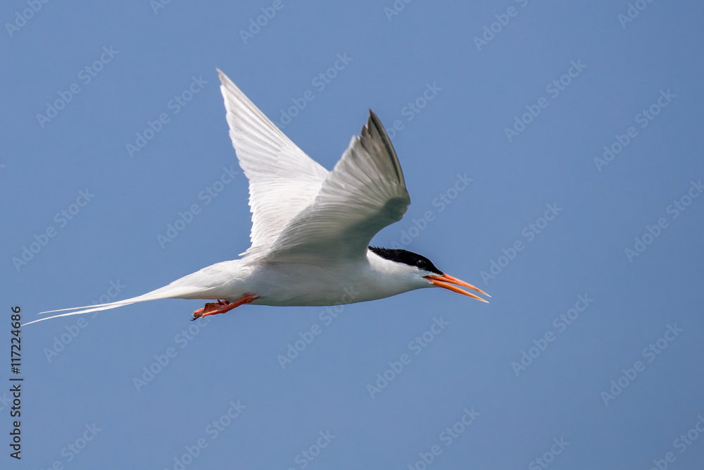 Bird in flight - Roseate Tern
