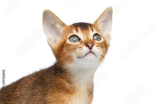 Foto op Aluminium Kat Close-up Face of Cute Abyssinian Kitty Curious Looks up on Isolated White Background, Front view