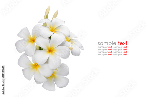 In de dag Frangipani White and yellow tropical flowers, Frangipani, Plumeria isolated