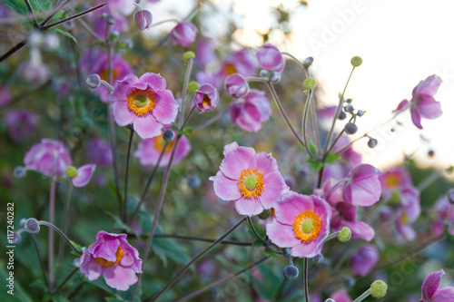 Herbst Anemone Buy This Stock Photo And Explore Similar Images At