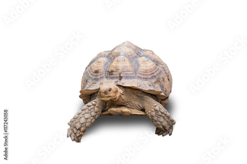 Deurstickers Luipaard turtle isolated on white background
