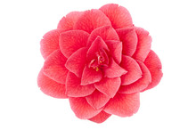 Flower Of Camellia On A White Background