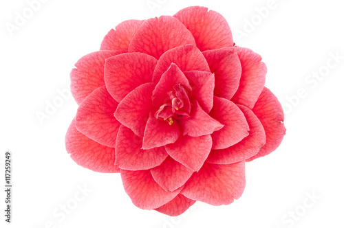 Fotomural flower of camellia on a white background