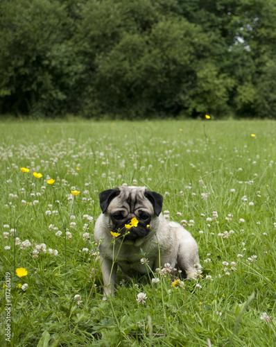 Photo Stands Flower shop Mopshond zit buiten in het gras tussen bloemen