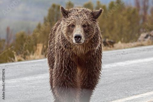 Fotografie, Tablou  Bears in the Wild