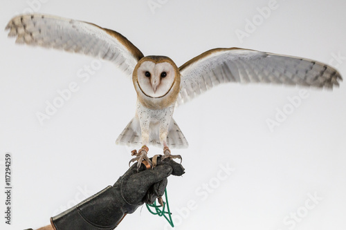Barn Owl On Glove With Wings Open Buy This Stock Photo And