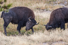 Two Bison Ready To Spar