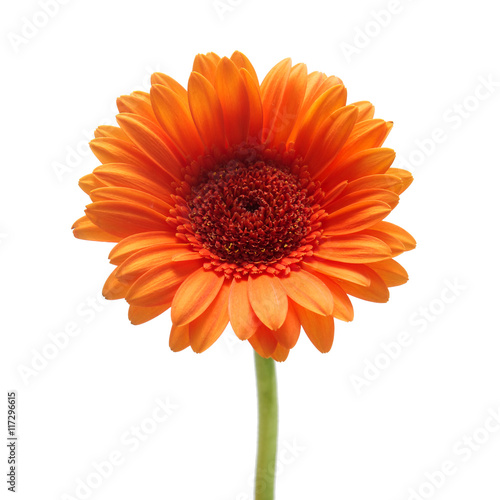 Fotobehang Gerbera Orange gerbera daisy flower isolated on a white background