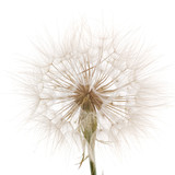 Tragopogon pratensiss close-up, isolated on white background - 117303256