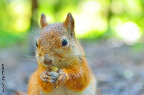 Fotobehang Eekhoorn Squirrel eating a nut close-up