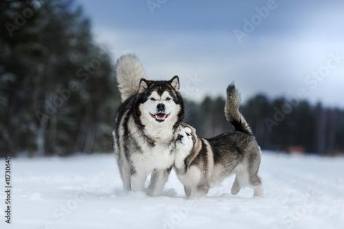 Photo two dogs breed Alaskan Malamute walking in winter