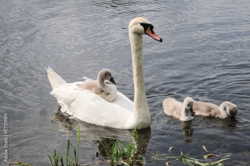 Poster Cygne Swan and chicks swimming on the pond