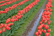 Reflections Of Red Tulips In The Irrigation Ditch Water Between Rows Of Tulips