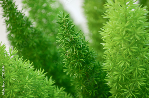Foxtail fern green left background