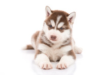Siberian Husky Puppy Lying And Looking On White Background