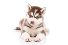 Siberian Husky Puppy Lying And...