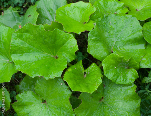 Valokuva  Coltsfoot wet leaves in rainy day