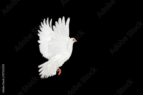 Canvas Print - White dove flying on black