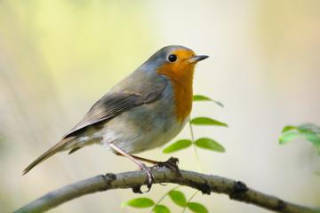 Perching Robin in spring