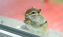 A Cute And Endearing Eastern Chipmunk Eats Peanuts While Peering Through A Window From Outside.