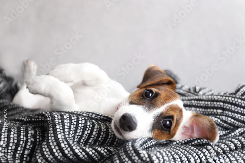 Fotografie, Obraz  Cute small dog Jack Russell terrier on couch