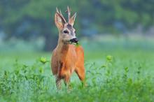 Wild Roe Deer Eating Grass