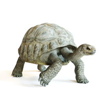 Large Tortoise Walking On A Is...