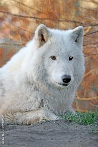 Платно  Howling white wolf