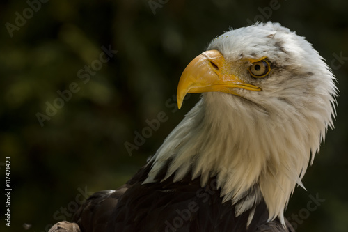 In de dag Eagle Bald eagle Portrait