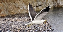 Close Up Of Seagull With A Mus...