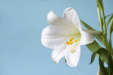 Macro Easter Lily