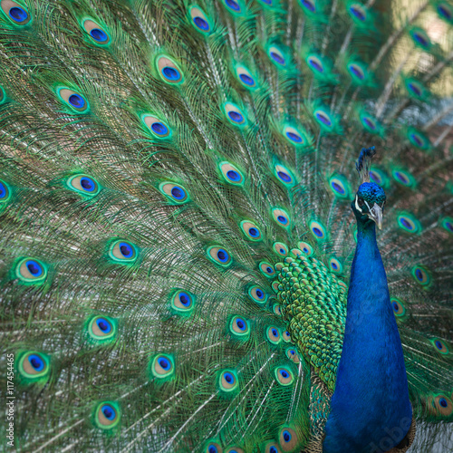 Foto op Aluminium Pauw peacock feathers on the open tail in zoo