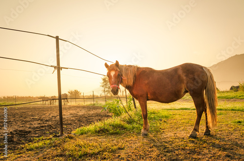 Deurstickers Toscane Pony on misty meadow in the morning