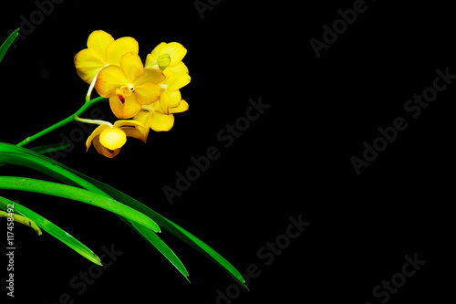 Yellow orchid flowers close up for black background buy this stock yellow orchid flowers close up for black background mightylinksfo
