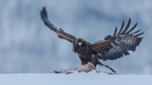 Golden Eagle Catching Prey In Snow