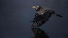 Grey Heron Flying Over Water