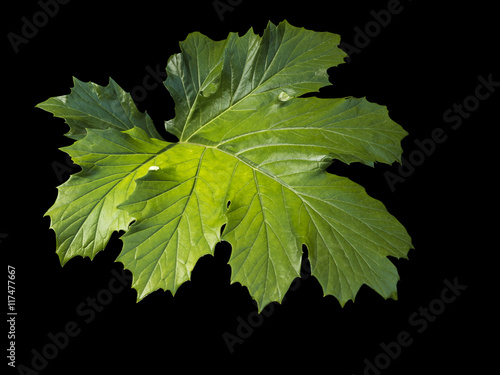 Photo  Photograph of an isolated, backlit Acanthus mollis leaf against a black background
