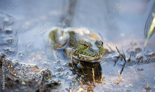 American Bullfrog - Lithobates catesbeianus. Santa Clara County, California. Simply known as the bullfrog, camouflaged in typical aquatic habitat.