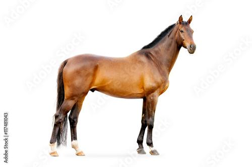Obraz na płótnie bay horse isolated on white
