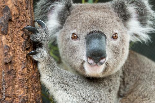 Montage in der Fensternische Koala Koala (Phascolarctos cinereus)