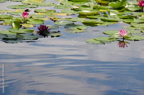 Deurstickers Waterlelies Water Lilies of Saitama City Minuma natural park