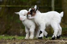 White Goat Kids Standing On Pa...