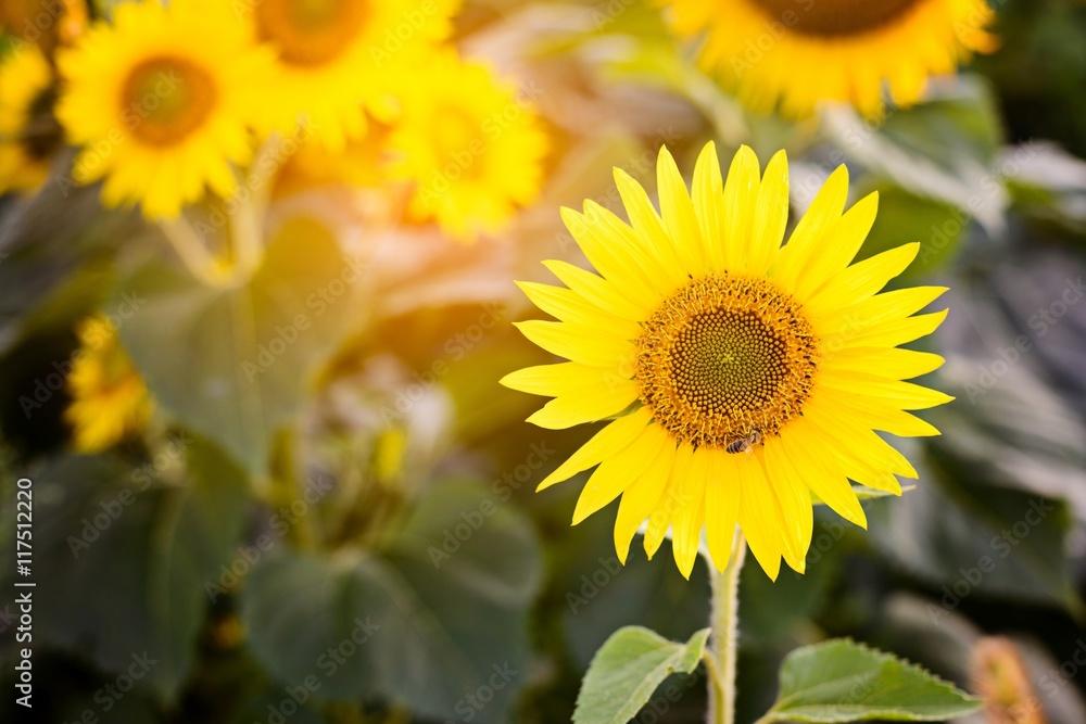 Beautiful sunflowers at field