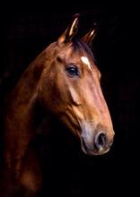 Häst Med Svart Bakgrund
