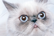 Cat With Grumpy Muzzle