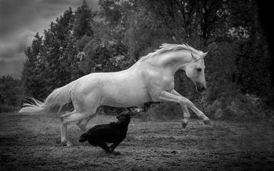 Obraz na płótnie Canvas white horse runs with the dog on the dark trees background