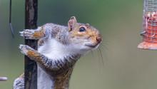 Naughty Grey Squirrel Raiding ...