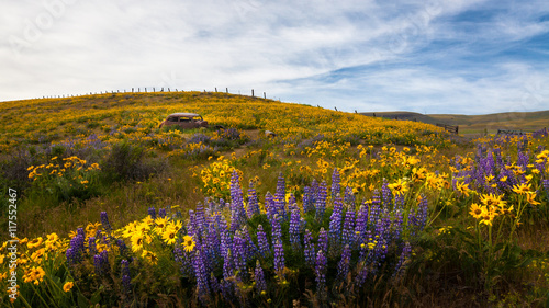 Rusty car in meadow with lupines, Columbia River Gorge, Oregon, United States of America, panoramic  - 117552467