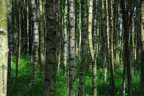 Brzozowy las - 117552868